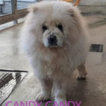 Candy Candy - Chow Chow adottato